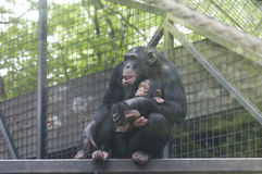 Chimpansee Image libre de droits