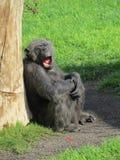 Chimpansee, Bioparc Valencia Royalty-vrije Stock Fotografie