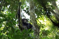 Chimpansee in Boom Stock Afbeeldingen