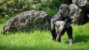 Chimpansee and child in zoo de Beauval Stock Photography