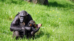 Chimpansee and child in zoo de Beauval Royalty Free Stock Images
