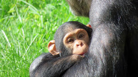 Chimpansee child in zoo de Beauval Royalty Free Stock Photo
