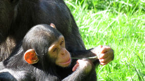 Chimpansee and child in zoo de Beauval Royalty Free Stock Photo