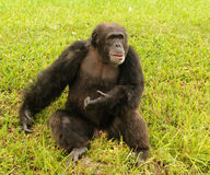 Chimpansee in de wildernis Stock Foto