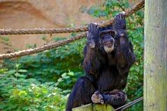 Chimpansee die een kabel grijpen Stock Foto