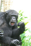 Chimpansee die een Luchtgitaar en een Lip Synching spelen stock foto's
