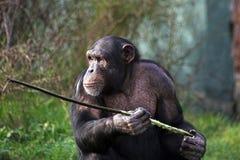 Chimpansee die een stok gebruikt stock fotografie