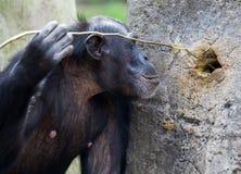 Chimpansee die hulpmiddelen met behulp van Stock Foto