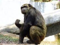 Chimpansee die oneindigheid bekijken Royalty-vrije Stock Afbeelding