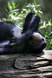 Chimpansee die op een rots bij de dierentuin leggen Royalty-vrije Stock Fotografie