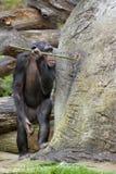 Chimpansee die voor voedsel ?vist? Royalty-vrije Stock Afbeeldingen