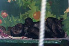 Chimpansee die zeer eenzaam en droevig liggen Stock Foto