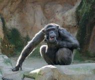 Chimpansee die zijn kin krassen Stock Foto