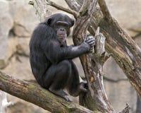 Chimpansee in een boom Stock Afbeeldingen