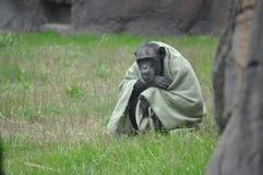Chimpansee in een deken Royalty-vrije Stock Foto's