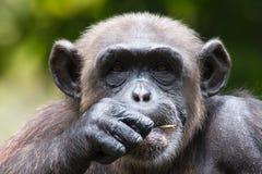 Chimpansee in gevangenschap Stock Fotografie