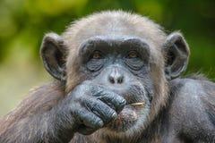 Chimpansee in gevangenschap Stock Afbeelding