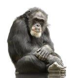 Chimpansee - holbewoners Simia Royalty-vrije Stock Afbeelding