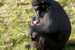 Chimpansee mother and baby. Young chimp in the arms of the mother chimpansee Royalty Free Stock Photography
