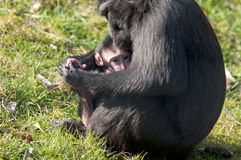 Chimpansee mother and baby. Young chimp in the arms of the mother chimpansee Royalty Free Stock Image