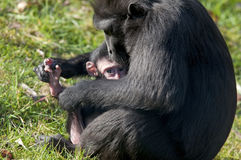 Chimpansee mother and baby. Young chimp in the arms of the mother chimpansee Royalty Free Stock Photo