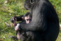 Chimpansee mother and baby. Young chimp in the arms of the mother chimpansee Stock Image