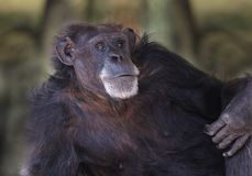 Chimpansee ontspannend beeld Royalty-vrije Stock Foto's