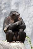 Chimpansee op een rots Stock Foto