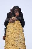 Chimpansee op het vooruitzicht Stock Afbeeldingen