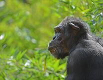 Chimpansee in Profil Stock Afbeelding