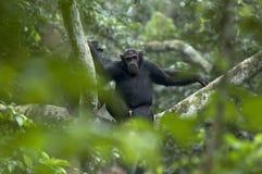 Chimpansee, scimpanzè, troglodite della pentola fotografia stock
