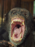 Chimpansee showing tonque. Chimpansee is showing his tonque and screaming very loud to everybody Royalty Free Stock Photography