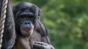 Chimpanseeglimlach royalty-vrije stock foto's
