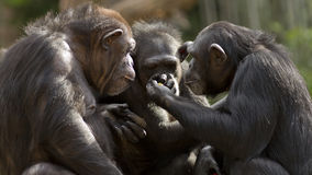 Chimpanseegroep Stock Foto
