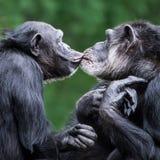 Chimpanseepaar VI Royalty-vrije Stock Afbeeldingen