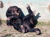 Chimpansees Stock Afbeelding