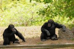 Chimpansees Royalty-vrije Stock Foto's