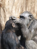Chimpansees. Stock Afbeelding