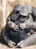 Chimpansees. Royalty-vrije Stock Afbeeldingen