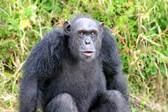 Chimpansees Stock Foto