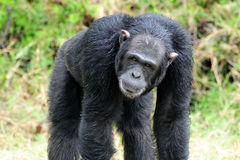 Chimpansees Royalty-vrije Stock Foto