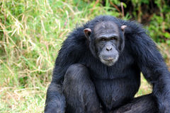 Chimpansees Royalty-vrije Stock Afbeelding