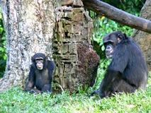 chimpansees Royalty-vrije Stock Afbeeldingen