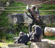 Chimpansees bij spel Royalty-vrije Stock Foto