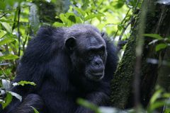 Chimpansees masculin en parc national Photos libres de droits