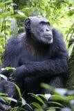Chimpansees masculino en parque nacional Fotos de archivo libres de regalías