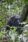 Chimpansees masculino no parque nacional Imagem de Stock Royalty Free