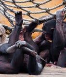 Chimpansees of Pan Troglodytes Royalty-vrije Stock Foto's