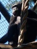 Chimpanseezitting in Boom stock foto