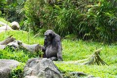 Chimpanseezitting op een gras terwijl het eten van voedsel Royalty-vrije Stock Afbeeldingen